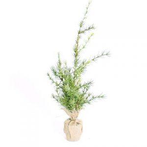 Juletræ ceder på betonfod- 53 cm høj